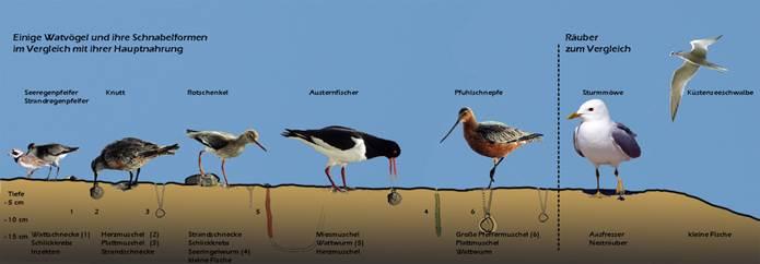 Okologische Nische Am Beispiel Von Vogeln